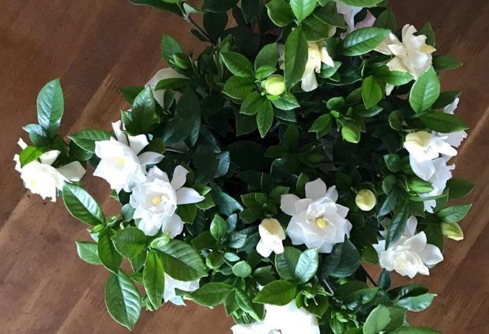 花言葉は「幸せを運ぶ」「幸せです」などです。  クチナシの花は非常に美しく、香りもとても良いです。その香りの良さから沈丁花などと共に三大香木の一つに数えられています。