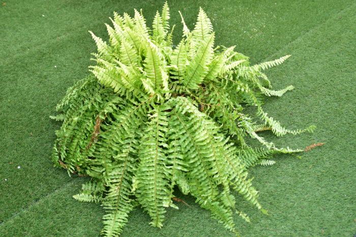 ツデーはタマシダの仲間で、強健で初心者の方にもおすすめの観葉植物です。アスプレニウム同様に耐陰性があるためちょっと暗めの環境にも置くことができます。  じっくり育てると大きな群生となり浴室などをジャングルにすることが出来るかもしれませんね!