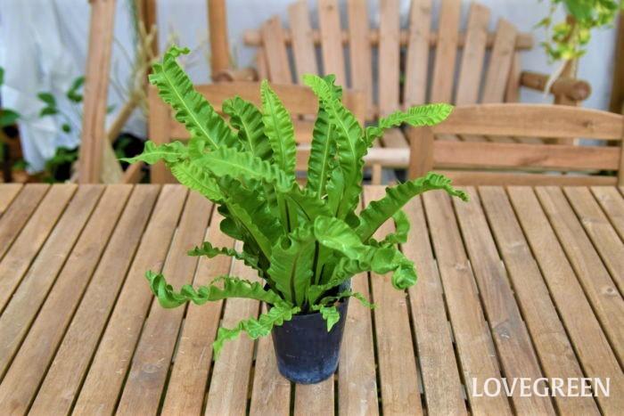 アスプレニウムはシダ植物に分類されており、耐陰性があります。また、高温多湿を好む傾向があるため浴室などの湿度の高い場所に置くことができます。  ただし、日光が極端に少ない場所に置くと徒長してしまったり葉色が悪くなってしまうため、定期的に日光浴をさせてください。そうすることでカビの発生を抑えたり、アスプレニウムの状態異常を察知しやすくなるでしょう。
