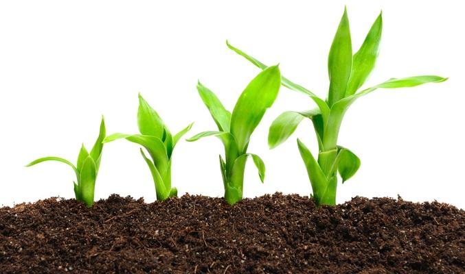 葉っぱの部分だけを土に埋めても発根確率は高く増やすのも容易です。