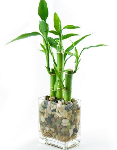 名前にバンブーとつきますが竹の仲間ではなくドラセナ・サンデリアーナという種類の植物です。縁起が良く、ちょっと和風なイメージ、その上育てやすくて丈夫な植物なんです。