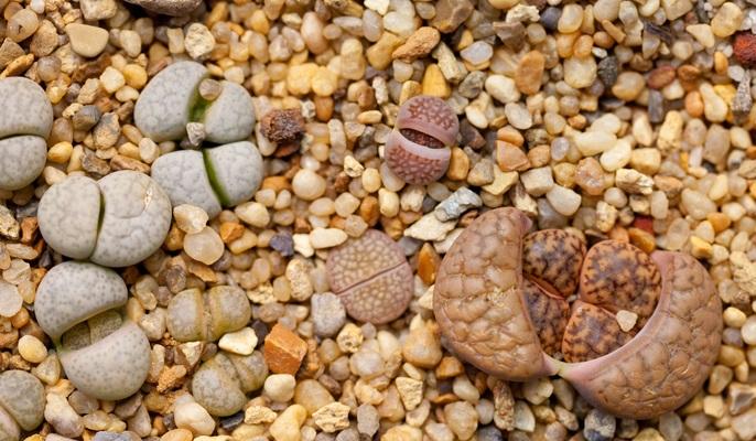 Lithops (Living stone), Succulent
