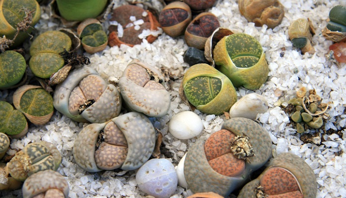 Cacti pebbles in a greenhouse in Moscow (Russia)