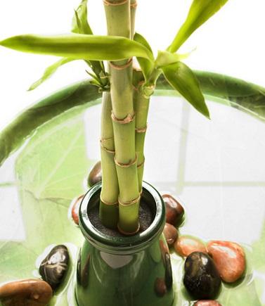 日当たりの良い室内ですくすくと成長します。  生育が旺盛で水栽培も容易。ハイドロカルチャーなどで色々なアレンジが楽しめます。  とても丈夫なので植物を初めて育てる方にもぴったりです!
