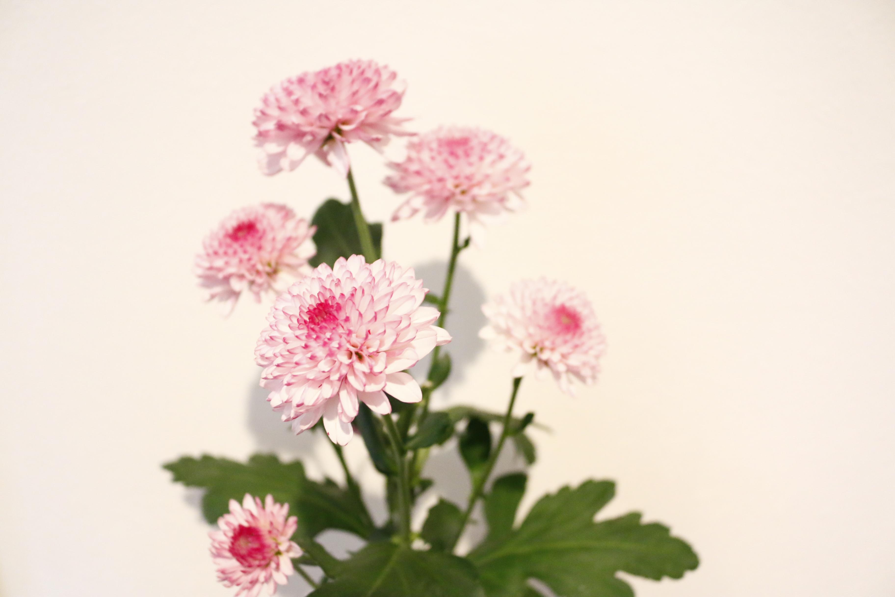 枝分かれした菊も、小さく切って活けるのにバッチリです。