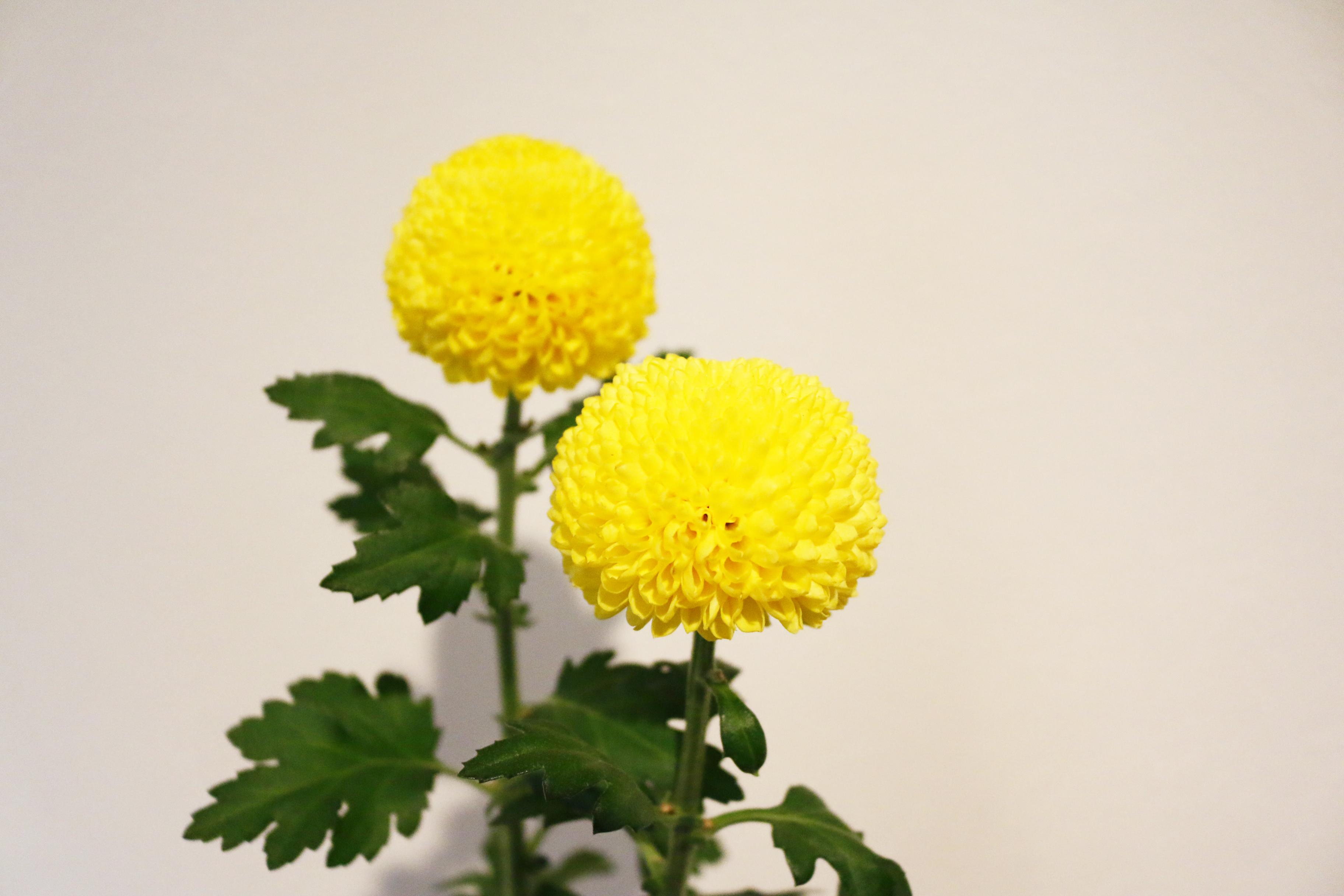 いろいろな菊が出回っています。明るい色のピンポンマムは暖かい雰囲気にさせてくれます。