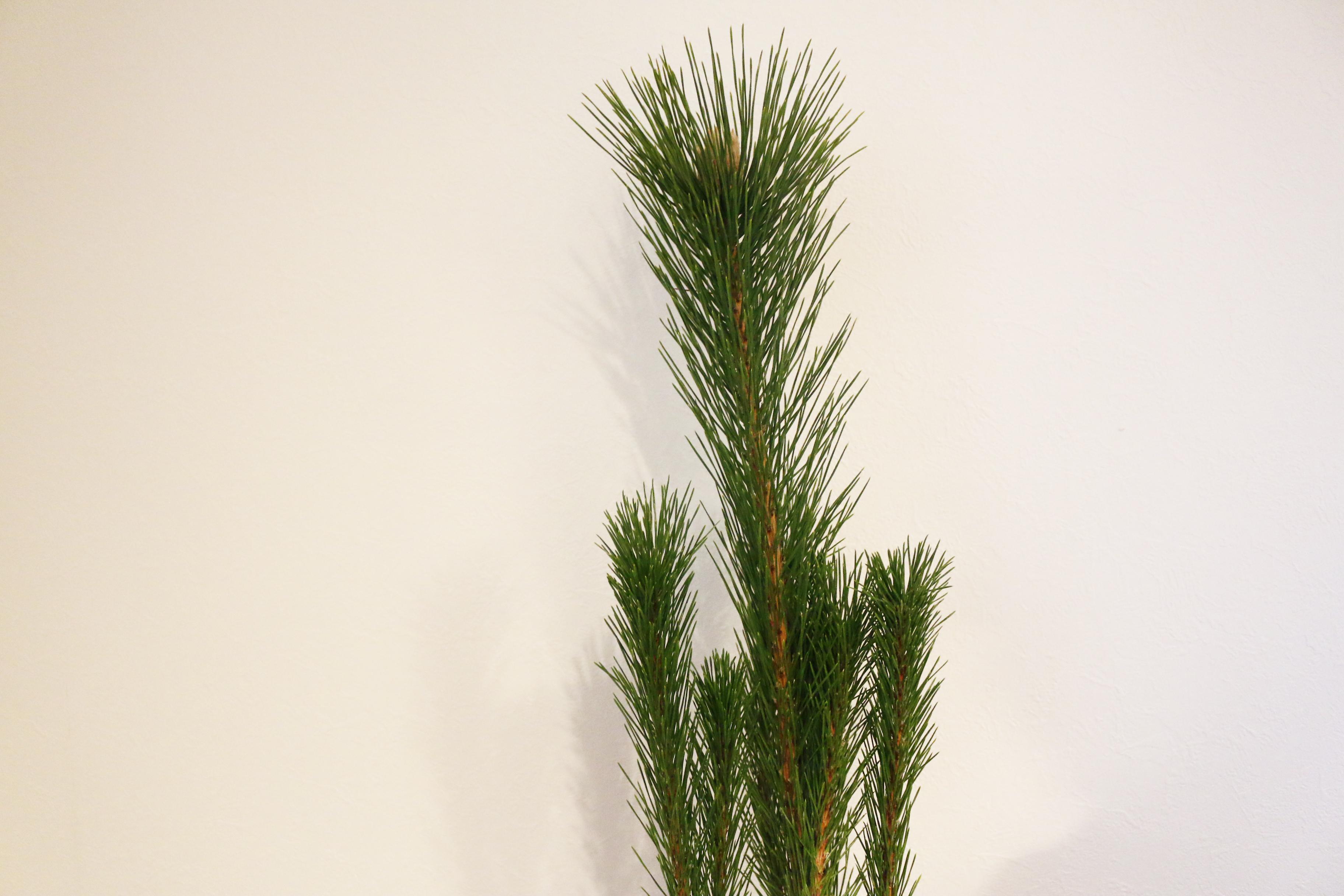 松は、昔から神様が待つ(マツ)や神様を祀るなど色々な意味合いが知られています。また、寒い時期でも常緑でいることから健康や長寿の祈願としても飾られます。神様の降りてくる木としても有名ですよね。  若松以外にも、大王松や根引き松など他にも種類があります。