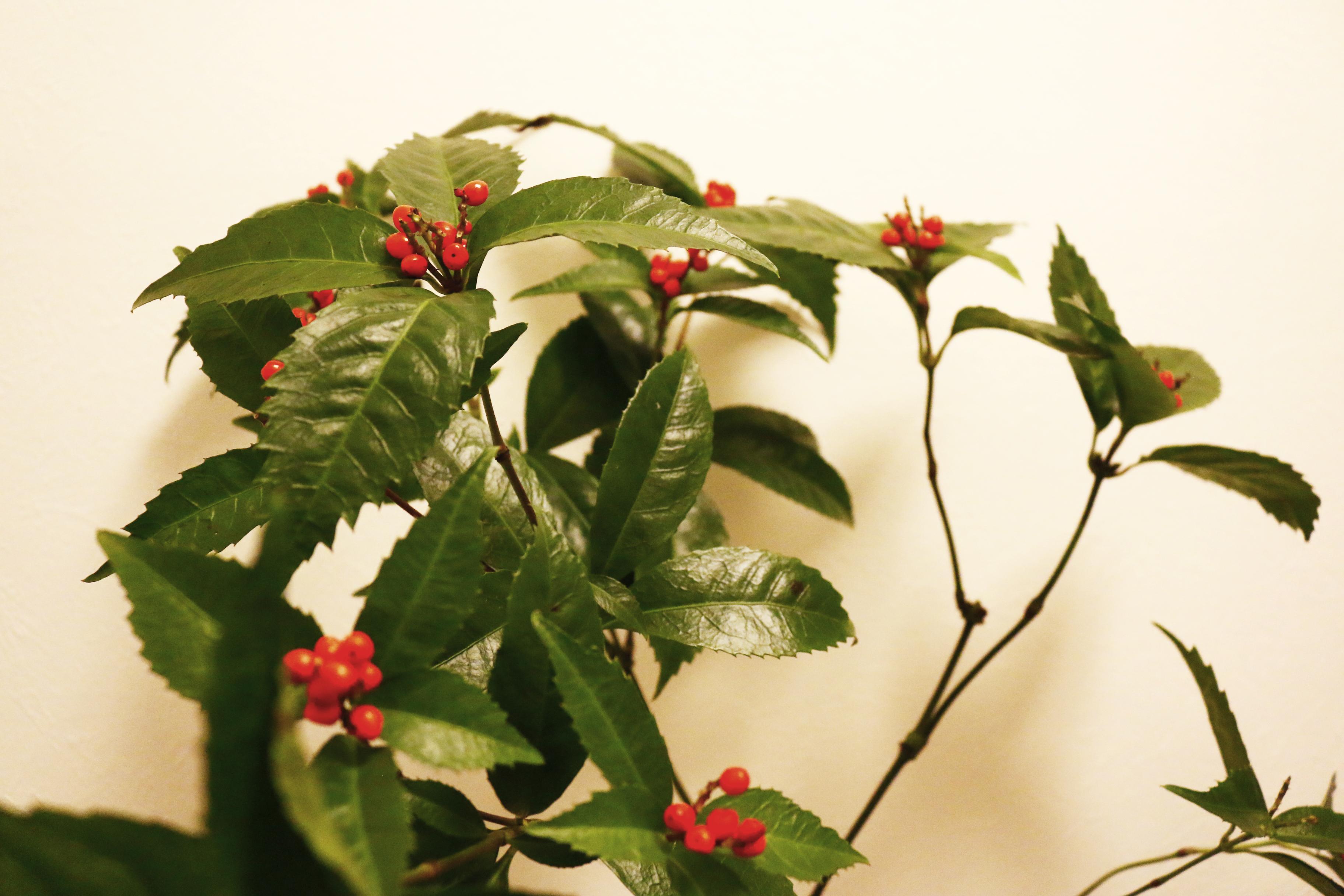 寒い季節に、花や実をつけることから金銭のように大切に扱われてきた実物。商売繁盛や金運向上と言われています。