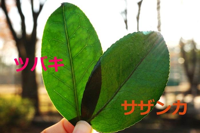 まずは葉の葉脈で見分けるパターンです。  ●椿(ツバキ):中心の葉脈がクリア  ●山茶花(サザンカ):中心の葉脈が黒っぽい