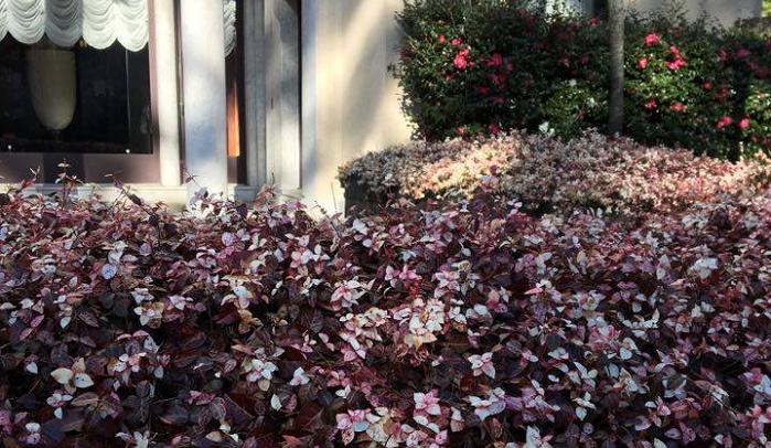 12月末のハツユキカズラ  こちらのハツユキカズラ、なんて素敵なピンク色でしょうか。こんなきれいなピンク色にしたいものですね。