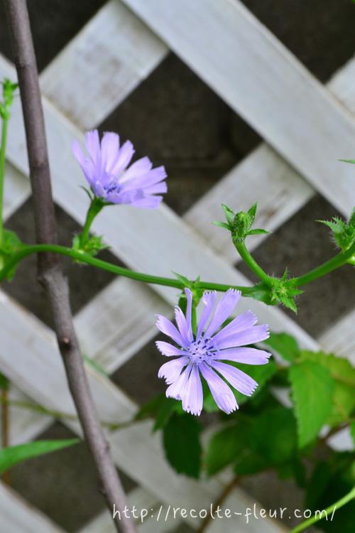 開花!普通のチコリの花と一緒のようです。