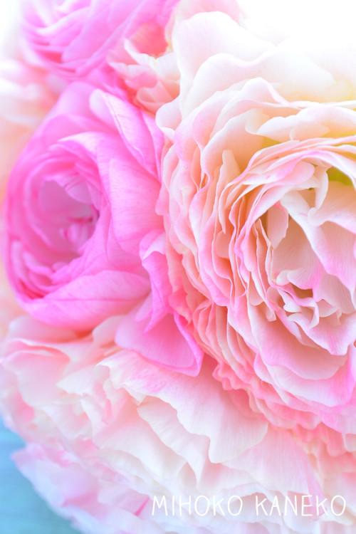 冬から春まで出回る複色系の花で代表的な花がラナンキュラス!