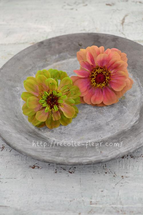 ここ数年、とっても素敵な色合いの複色系ジニアが切り花として入荷するようになりました。