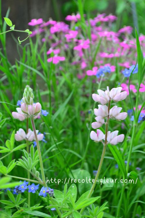 たくさんのある品種の中でもルピナス・ピクシーデライトは丈の低い品種の一年草。花丈は30センチ~40センチ。色は白、ソフトピンク、ブルーの色があります。