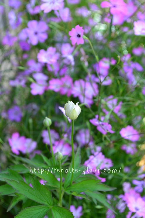 つぼみもかわいい。アネモネ・バージニアナは冬場は下葉だけで花丈はありません。初夏になると急に花茎が株元からぐんぐん伸びてきます。