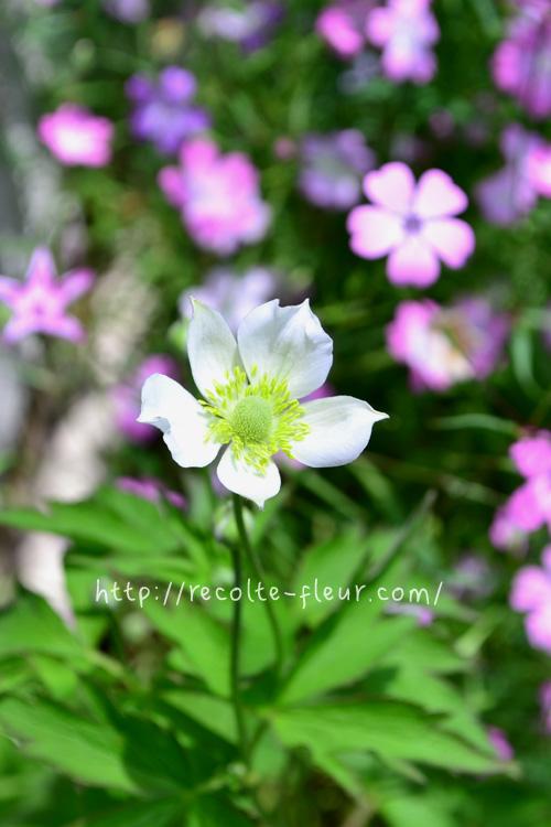5月、可憐な純白の花が開花。