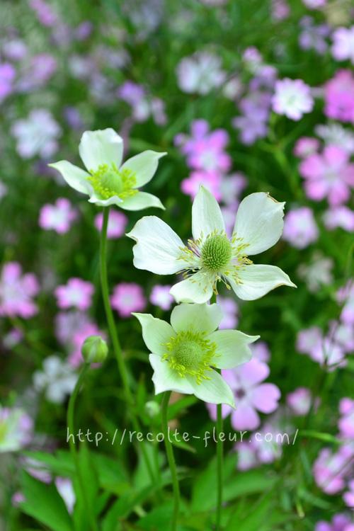 5月~6月、次から次へとたくさんの花が開花します。