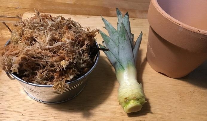 パイナップルのヘタと水苔と鉢