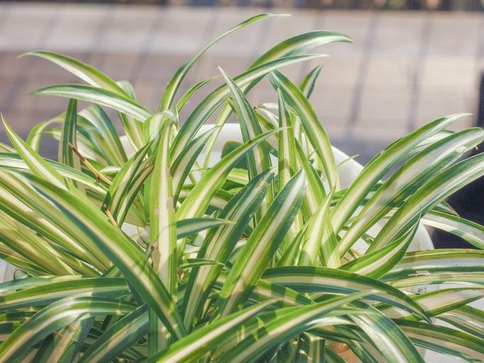 斑入り植物の魅力は、何と言っても緑一色の単調になりがちな葉の表情に白味を帯びることで変化させてくれることです。花が咲かない観葉植物でも、斑入りの品種は華やかさがあります。育てやすい斑入り植物は、ガーデニングにもお部屋のインテリアとしても大変おすすめです。