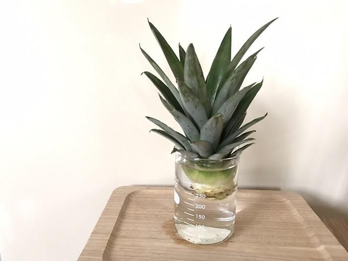 パイナップルのヘタんお水栽培