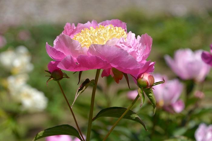 日本では5、6月の季節に咲く多年草です。