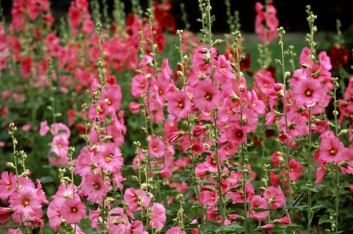 開花期は梅雨頃から夏で、毎日新しい花を咲かせ2ヶ月近く咲き続けるお花です。