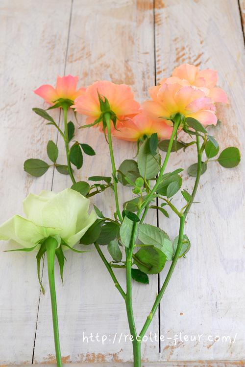 スプレーとは「枝分かれ」の意味で使われ、バラ以外でも、菊も「菊(マム)」と「スプレー菊(マム)」のように表現されます。