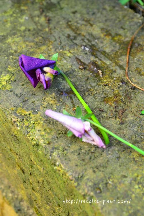 終わった花茎から花が咲くことはないので、花がらは茎から取り去ります。  茎からカット
