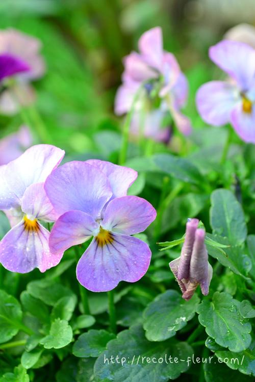 花がらとは、終わった花のこと。花が終わってくると、花びらがくるんとカールして、しわしわになってきます。花がらをそのままにしておくと、植物としては花を咲かすことより、次の世代を残すことが重要ミッションのため、種をつけることにエネルギーが回ります。それを避けるため、花がらをどんどん摘んで、次の花を咲かせていきます。