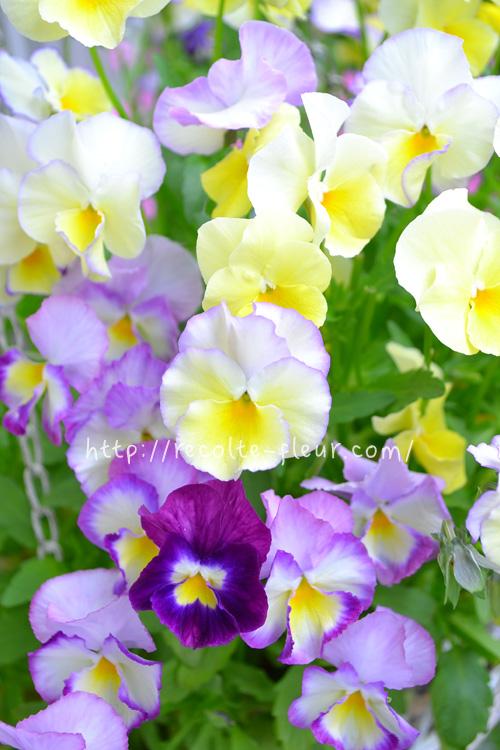 パンジー、ビオラなどの草花やハーブなど、一般的な植物は「乾いたらたっぷり」を意識すれば十分です。  冬から春は、同じ植物でも置き場の日当たり具合によって、毎日あげることもあれば数日に1回くらいの場合もあります。土の表面を見てあげるようにします。