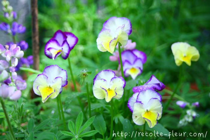 ルピナス・ピクシーデライトは開花期間が一緒なので、パンジー、ビオラと相性抜群です。