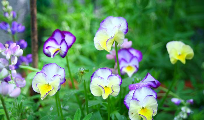 葉っぱの色がきれいな緑で徒長していない、しっかりとしたパンジーを選びましょう。咲いている花の多さより、つぼみがたくさんついている苗を選びましょう。