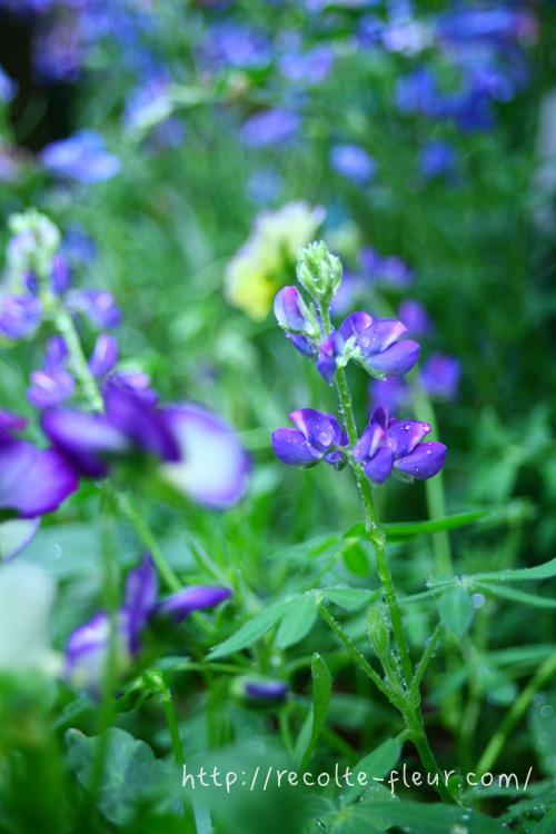 花もかわいいのですが、葉っぱの色もきれいな若緑色で、葉っぱのフォルムも素敵です。花色だけでなく、葉っぱの色も軽やかなので、寄せ植えや花壇に植栽すると、さわやかな雰囲気に