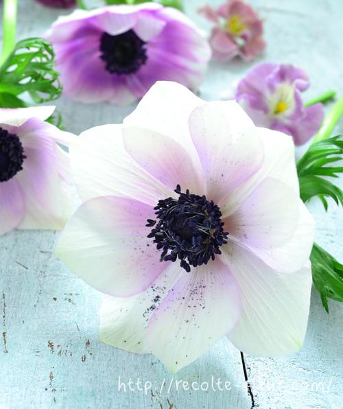 アネモネは、光と温度に敏感に反応する性質の花です。朝になると開き、夜になると閉じるを繰り返します。花の終わりは開きっぱなしとなります。