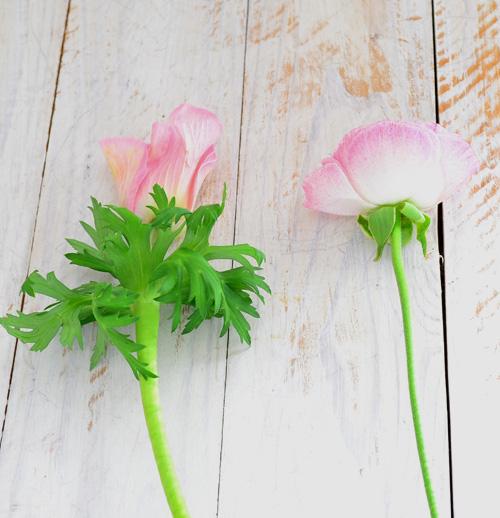 同じキンポウゲ科の植物で、一重咲きだと見た目が似ているラナンキュラスとの見分け方は、花のすぐ下にガクがあるのが、ラナンキュラス(右)。何もなくて数センチ下に葉があるのがアネモネ(左)です。