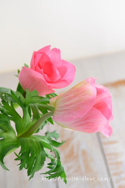 私たちがアネモネの花びらと思っている部分は、実はガク。色のついた部分はガクで、花びらのない珍しい花です。
