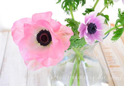 左・アネモネ・ミストラル 右・アネモネ・ポルト  右のアネモネは「ポルト」。アネモネの中でも矮性(丈が低い)品種で小さなサイズの花束やアレンジメント向きの品種です。  大輪種のミストラルシリーズと花のサイズを比較すると・・・同じアネモネでもだいぶ違います。