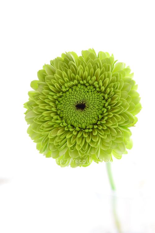 ガーベラに限らずグリーンの花が人気の花業界です。こちらは八重咲き種。白~グリーンのさわやかな品種です。