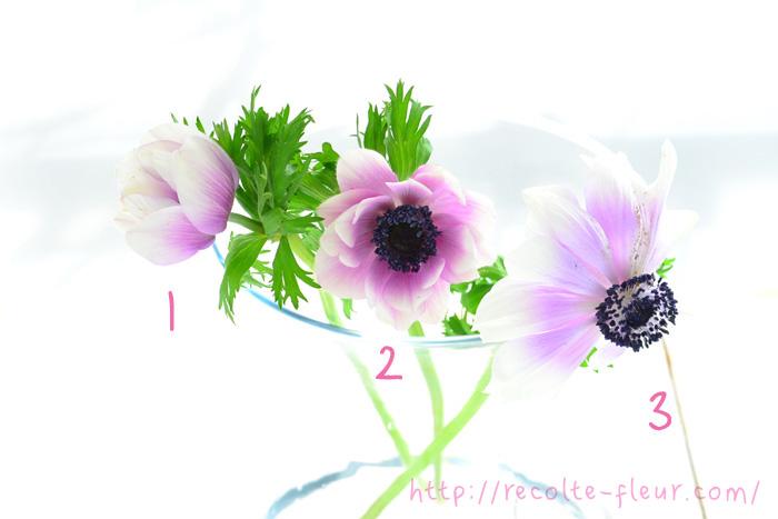 アネモネは、開花前から開ききるまで表情がどんどん変わる花です。花の大きさまで変わるので最初はびっくりするかもしれません。