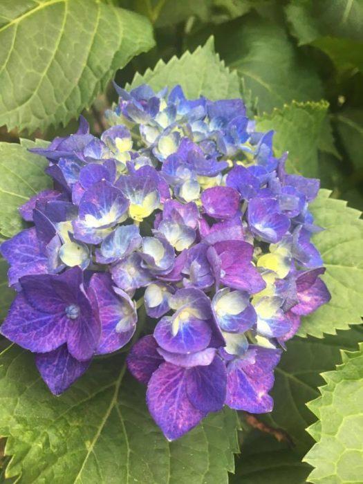 ユキノシタ科の多年草で、花期は5月~7月です。梅雨といえば、この花。春先になると、枯れたように見える枝の先から芽が出てきます。  紫陽花はとても綺麗な園芸品種が作られており、母の日の贈り物としても人気が高い花です。