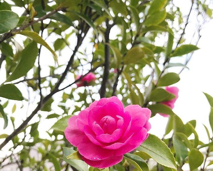 以前、植物の仕事をしていた入社1年目のヒヨッコだった私。目の前に椿(ツバキ)? それとも山茶花(サザンカ)? と思われる木が・・・。作業に入る職人さんに「これ、椿(ツバキ)ですかね?それとも山茶花(サザンカ)ですかね? 」と尋ねたところ、「葉が大きいから椿(ツバキ)だ! 」と言われました。その後、その木を剪定してスッキリさせた時に、樹木のネームプレートが出てきて、そこには『山茶花(サザンカ)』とありました…。(気が付かないフリをしました。)  椿(ツバキ)と山茶花(サザンカ)は、プロの造園屋さんでも間違うことがあるほど難しいそう。そこで、今までの経験で得た椿(ツバキ)と山茶花(サザンカ)の見分け方のポイントをいくつかご紹介します。