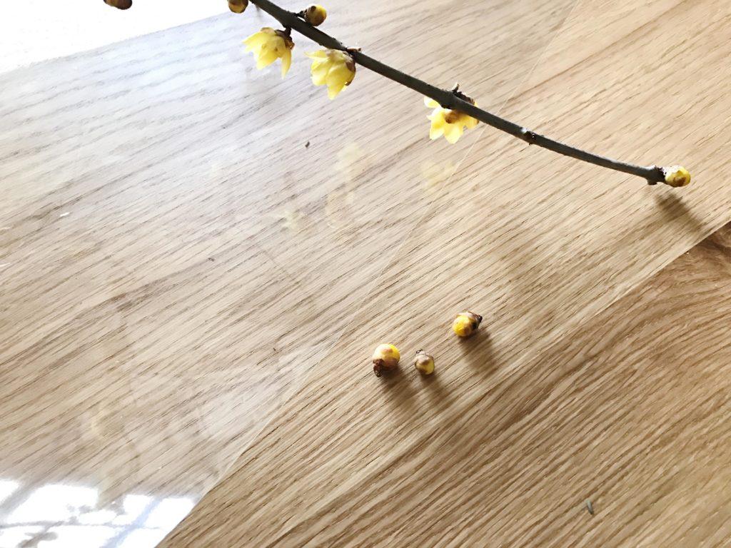 蝋梅(ロウバイ)の花はポロっと落ちやすいので持ち帰ってくるときにぶつけないように気をつけましょう。