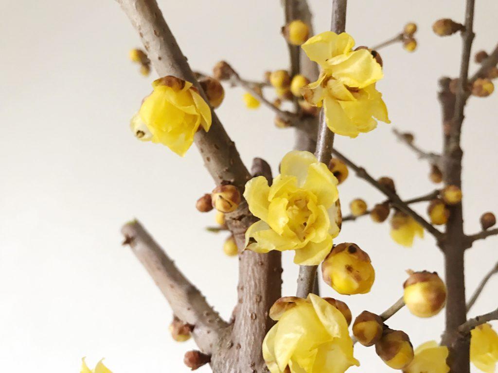 蝋梅(ロウバイ)ロウバイはロウバイ科の2mから4mほどになる落葉低木です。別名の唐梅(カラウメ)とも呼ばれ、その名の通り中国原産の樹木。蝋梅(ロウバイ)は 12 月~2 月に、よい香りのする花を咲かせます。日本に蝋梅(ロウバイ)が入ってきたのは江戸時代頃と言われています。また、雪中四友(せっちゅうしゆう)と呼ばれる雪の中で咲く 4 つの花のひとつです。