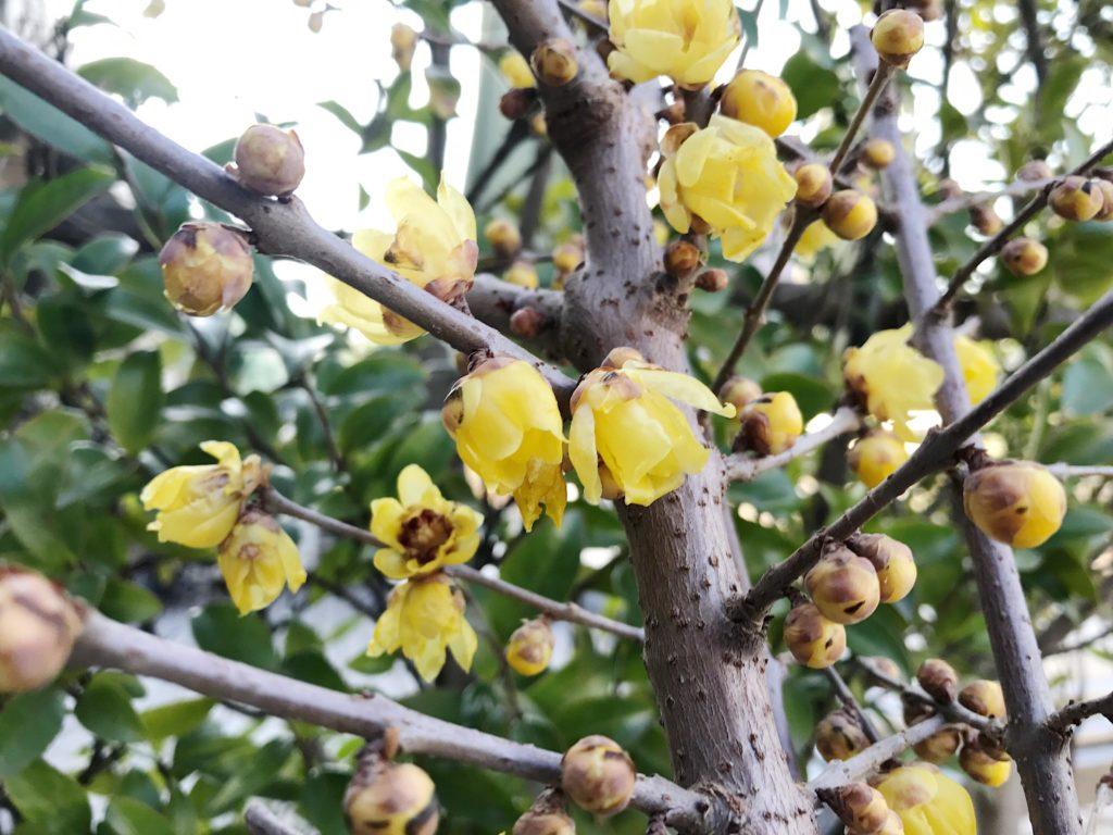 日当たり・場所 蝋梅(ロウバイ)は日当たりのいい所の方が花つきはよくなります。水はけがよい場所に植え付けましょう。蝋梅(ロウバイ)は冬の寒さや夏の暑さにも対応できる樹木です。