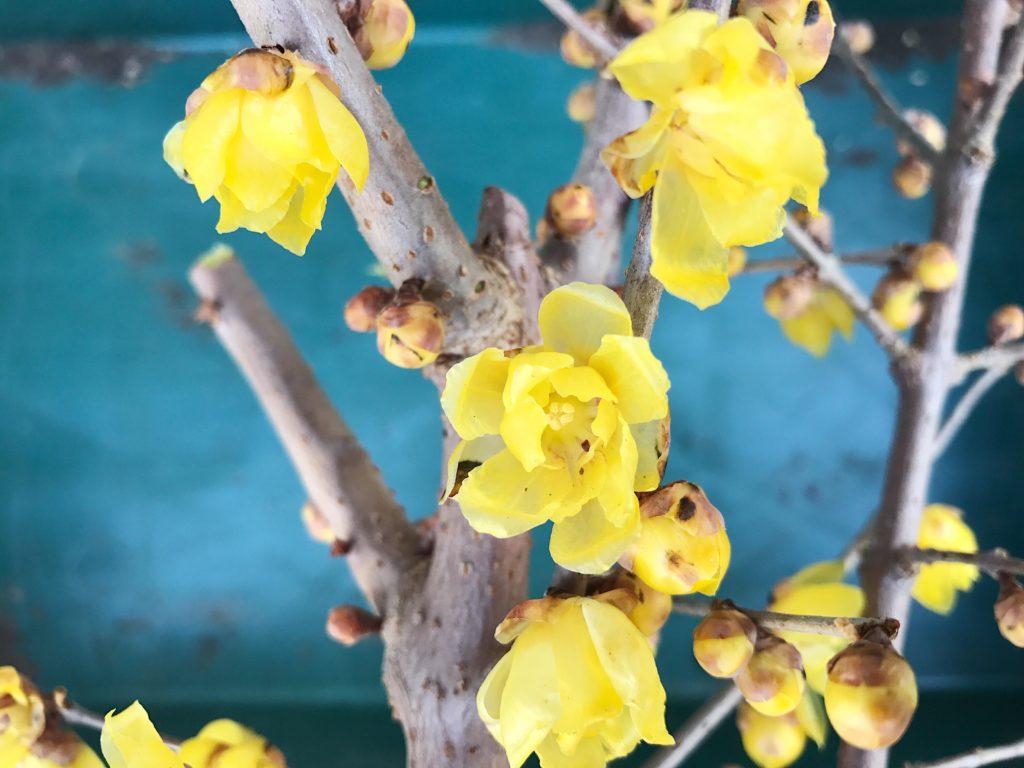 雪中四友のひとつである蝋梅(ロウバイ) 雪中四友(せちゅうしゆう)とは、雪中四花とも呼ばれる蝋梅(ロウバイ)、玉梅、茶梅、水仙の4つの花を指します。どの花も白い雪が似合う春の花で す。 玉梅は、白い梅の花のこと。茶梅は山茶花(さざんか)を指します。冬から春の季節に見ておきたいお花です。