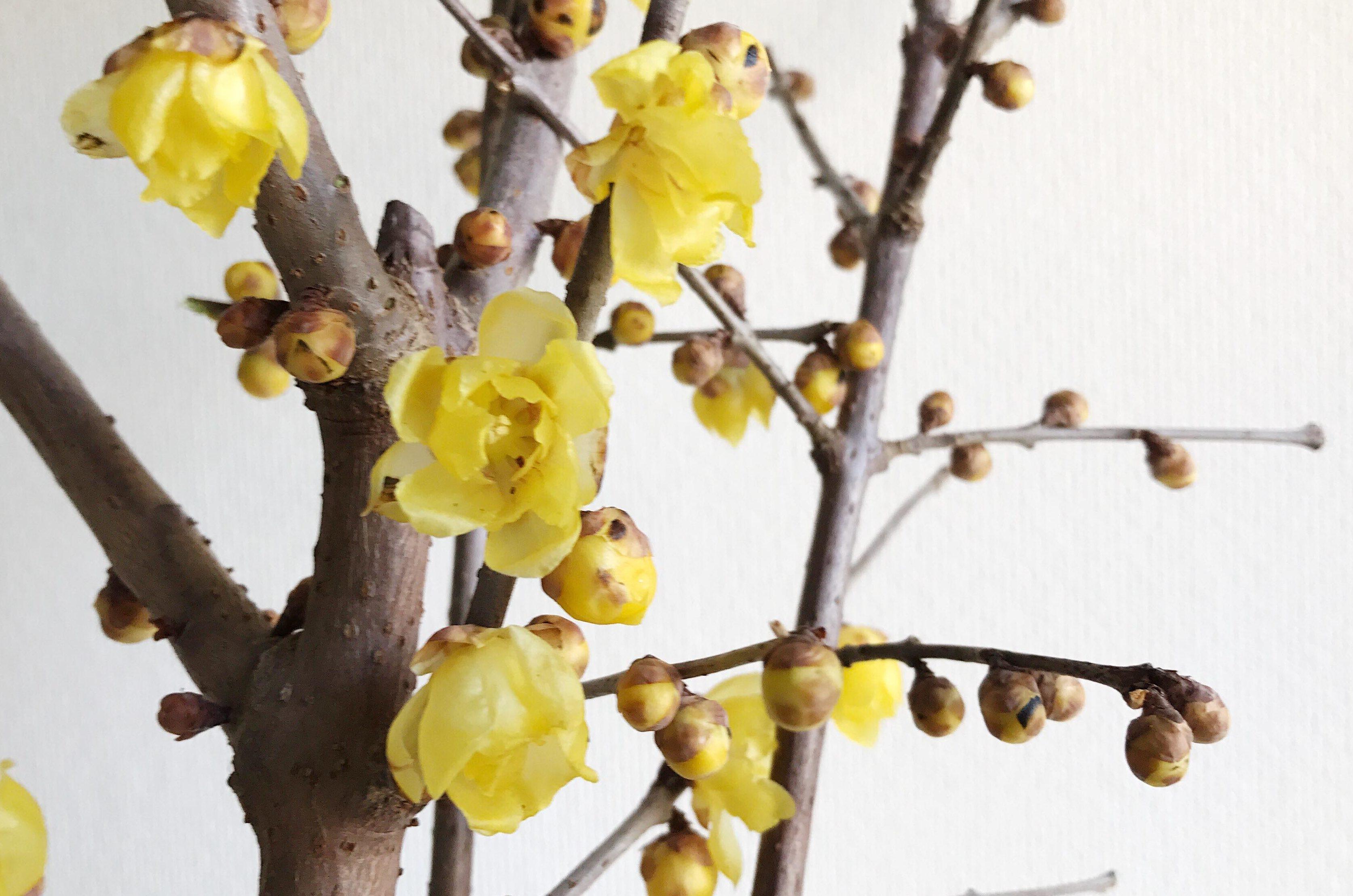 """蝋梅(ロウバイ)の名前 古くから和歌や 画題にもされてきた魅力のある蝋梅(ロウバイ)の名前の由来は様々で、中国名「蝋梅(ラ ーメイ)」を日本語読みしたもの、花の色や光沢が蜜蝋(みつろう)を連想させるから、臘月(陰暦の 12 月)に 花が咲くからなどがあります。英名では""""Winter sweet""""と呼ばれています。寒い冬に甘い香りを放つ蝋梅(ロウバイ)にぴったりの名前ですね。   蝋梅(ロウバイ)の花言葉は、慈愛 親が子をいつくしむような深い愛情を意味する、「慈愛」。  寒い冬、蝋梅(ロウバイ)が心にやさしく寄り添ってくれるような花やよい香りであることから、そんな花言葉になったのかもしれません。まだまだ寒いけど、年が明けると春がもうすぐやってきそうな気がします。蝋梅(ロウバイ)のよい香りにときめきな がらたくさんの植物が芽吹く季節を待ちましょう。"""