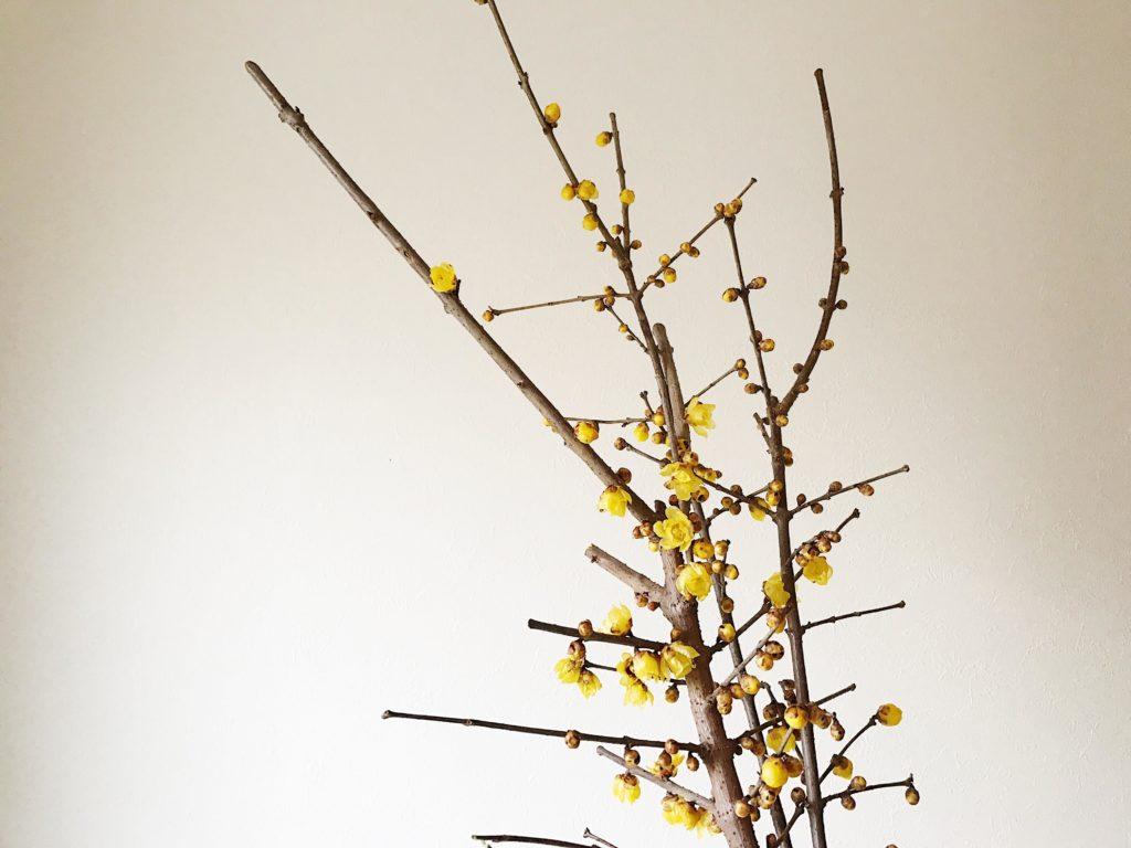 蝋梅(ロウバイ)には、どんな品種があるのでしょうか? おもな品種をご紹介します。   素心蝋梅(ソシンロウバイ) 蝋梅(ロウバイ)の定番品種です。全体が黄色で、他の品種より香りは強い。   満月蝋梅(マンゲツロウバイ) 他の品種より花が大きめで花弁が丸目。早咲きで花色が濃いです。素心蝋梅(ソシンロウバイ)の実生から選抜された品種。  和蝋梅(ワロウバイ) 蝋梅(ロウバイ)の基本種で花の中心が暗い赤紫色で花弁は細めです 。