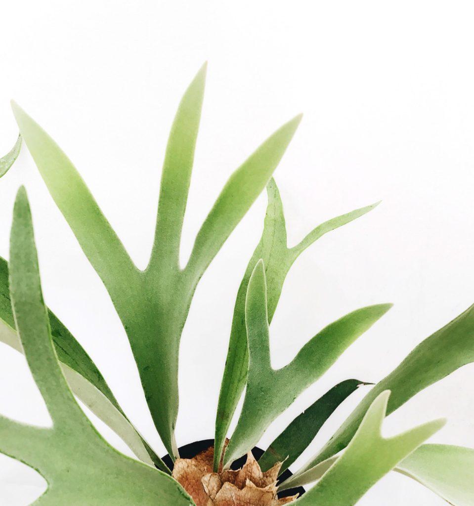 ビカクシダ 鹿の角のような葉っぱを持つシダ植物ビカクシダ。木に着生して育つシダです。コウモリランとも呼ばれています。