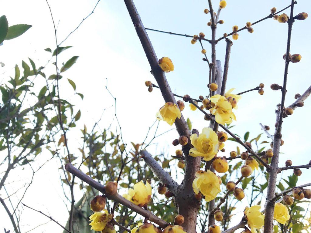"""蝋梅(ロウバイ)の開花時期や見頃は? 開花時期は12月~2月頃まで蝋で作られたかのような質感のお花を咲かせます。澄んだ冬の空気に、黄色の可愛いらしいお花や蝋梅(ロウバイ)のよい香りを楽しみに出かけてみませんか?  蝋梅(ロウバイ)の見れるスポットはこちら <div class=""""posttype-spot shortcode""""><div id=""""posts"""" class=""""full""""><article><a href=""""https://lovegreen.net/spot/p85072/"""" class=""""clickable""""></a>    <div class=""""spot-list-ttl clearfix"""">    <h2 class=""""spot-list-ttl-text""""><span class=""""spot-list-ttl-text-inner"""">国営昭和記念公園</span></h2>   <div class=""""spot-list-types"""">     <a href=""""/spot/tokyo"""" class=""""spot-list-type area area-kanto"""">東京</a>    <a href=""""/?sp_type=park&s=&spot=1"""" class=""""spot-list-type"""">公園</a>  </div>  </div>   <div class=""""thumbnail"""" style=""""background-image:url(https://lovegreen.net/wp-content/uploads/2017/04/34r-300x200.jpg);""""></div>   <div class=""""top-post-ttl-extext"""">     <ul class=""""spot-list-list"""">       <li class=""""spot-list-item""""><span class=""""spot-list-item-ttl"""">最寄駅 : </span>JR西立川駅</li>       <li class=""""spot-list-item""""><span class=""""spot-list-item-ttl"""">アクセス : </span>徒歩2分</li>       <li class=""""spot-list-item""""><span class=""""spot-list-item-ttl"""">住所 : </span>東京都立川市緑町3173</li>     </ul>     <p class=""""spot-list-detail""""><span class=""""spot-list-detail-text"""">入園料<br /> 大人(15歳以上) 410円 小人(小・中学生) 80円シルバー(65歳以上) 210円<br /> ※2018年4月より、大人(15歳以上) 450円 小人(小・中学生) 無料に変わります。</span></p>  </div> </article> </div></div>  <div class=""""posttype-spot shortcode""""><div id=""""posts"""" class=""""full""""><article><a href=""""https://lovegreen.net/spot/p112991/"""" class=""""clickable""""></a>    <div class=""""spot-list-ttl clearfix"""">    <h2 class=""""spot-list-ttl-text""""><span class=""""spot-list-ttl-text-inner"""">新宿御苑</span></h2>   <div class=""""spot-list-types"""">     <a href=""""/spot/tokyo"""" class=""""spot-list-type area area-kanto"""">東京</a>    <a href=""""/?sp_type=park&s=&spot=1"""" class=""""spot-list-type"""">公園</a>  </div>  </div>   <div class=""""thumbnail"""" style=""""background-image:url(https://lovegreen.net/wp-content/uploads/2017/08/autumn008_shinjukugyoen-1-300x156.jpg);""""></div>   <div class=""""top-post-ttl-extext"""">     <ul class=""""spot-list-list"""">       <li class=""""spot-lis"""