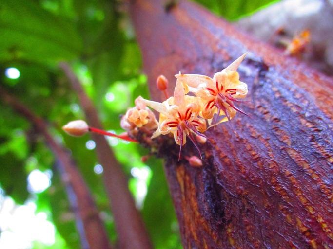 ラグビ-ボールほどの大きさになるカカオポッドですが、カカオの花の大きさはほんの3cmくらいです。半年ほどかけてカカオポッドの大きさになるのですから力強い生命力のお花なのですね。